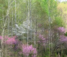 Spring Trees by justamom
