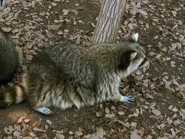 racoon 02 by Pagan-Stock