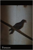 A pigeon in a cage by Traneem