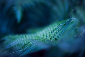 blue fern by riskonelook