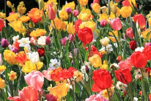 Tulips and Narcissus by CASPER1830