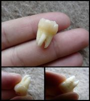 Human Wisdom Tooth by CabinetCuriosities