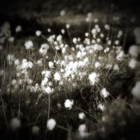 Eriophorum II by ToWelcomeTheFade