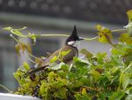 Red Whiskered Bulbul-Birds of Hong Kong by Summonssniper