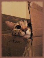 cypher - box kitty - nosey by vampir