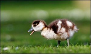 Egyptian Gosling by andy-j-s