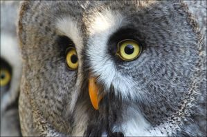 Great grey owl. by Evey-Eyes