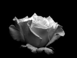 Rosa in B-W by Elsabet917