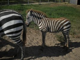 Zebra Foal 5 by EquideDesigns