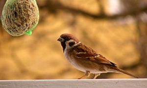 Male tree-sparrow by LadyAyslinn