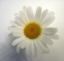 DAISY STOCK 2 by SimplyBackgrounds