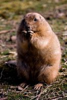 Prarie Dog by mole2k