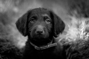Labradoodle Puppy by PamMartin