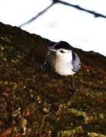 White-breasted Nuthatch 3 by tastybedsore