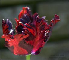 Feathery Tulip by aheria