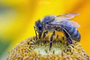 Common bee by Seb-Photos
