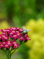 green fly on Achillea by BlackEyesSnowAngel