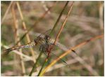 Dragonfly in camouflage by piro23