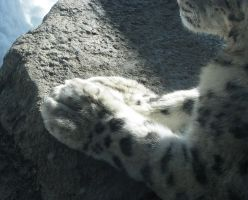 Paw Stock 6: Snow Leopard by HOTNStock
