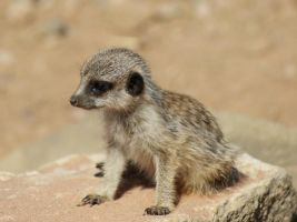Baby meerkat by Fire-Magic77