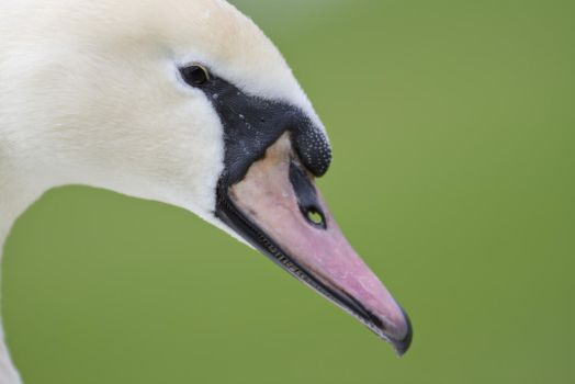 Swan 01 by LydiardWildlife