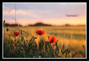 Poppy Landscape by declaudi