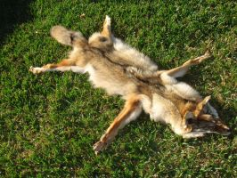 My First Coyote Pelt (1) by YukiChana