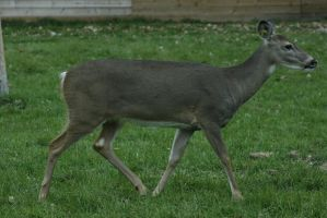 White-Tailed Deer 5 by CastleGraphics