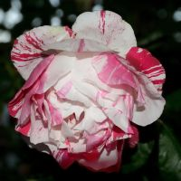 White-Red Rose by FeralWhippet
