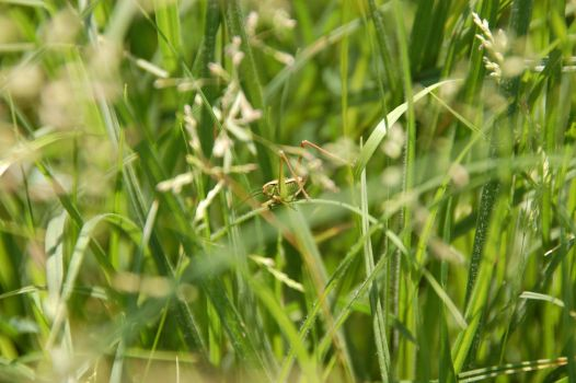 cricket in the grass by morfeuscor