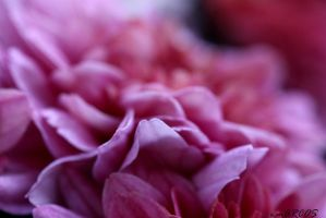 Fucsia by emarcosf