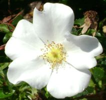 Tiny white rose by snoogaloo