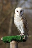 Owl 01 Stock by lokinststock