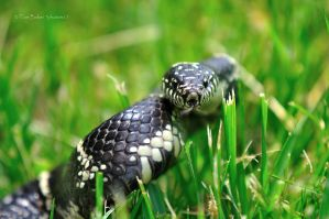 eastern king snake 01 by photom17