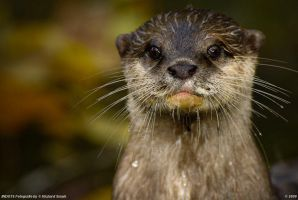 Otter 2 by Indots
