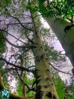 tall trees hdr by DCRIII
