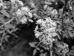 BW Wildflower by livdrummer