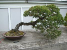 bonsai 1.5 - scotch pine by meihua-stock