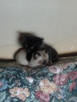 Two month old kittens by KiraChanOfDemons