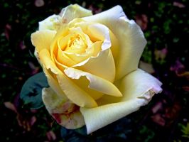 yellow rose by Paul774