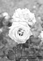Roses from the Sydney Royal Botanical Gardens. by AHague
