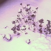 frozen weeds by Dracornasus
