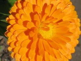 Orange Marigold 2 by Jyl22075