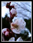 Apricot Blossoms 2 by MistyGlow-Betty