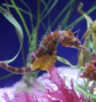 Sea Horse by meeks105