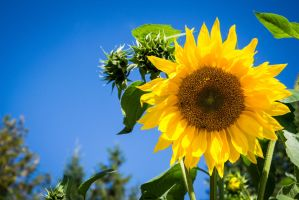 Sunflower by Banera