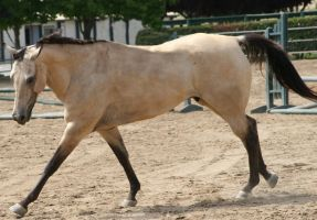 Buckskin Quarter Horse Gelding Tack Removed by HorseStockPhotos