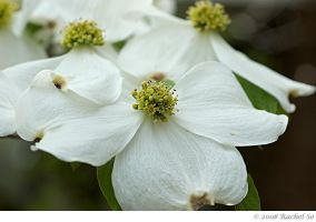 Dogwood Dreams I by butterfly36rs