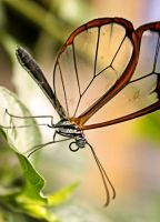 Glasswing by zestkitten