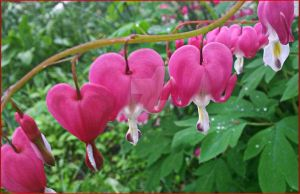 Bleeding hearts by SnapColorCreations